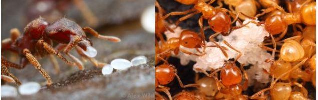6-ant-eggs