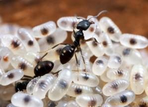 7-ants-larvae