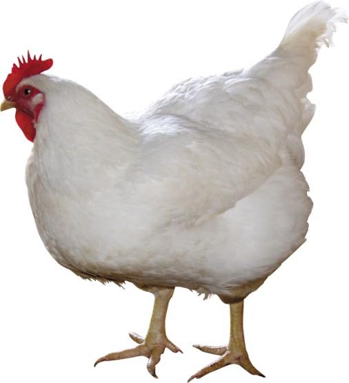 2 live chicken