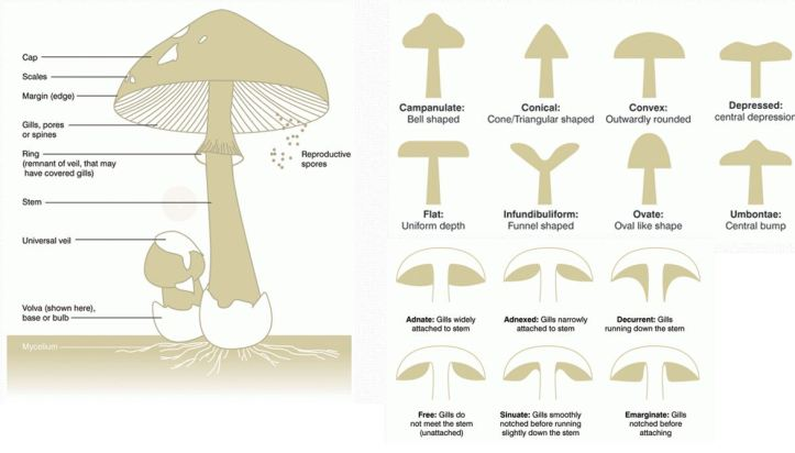 looked at diagrams of what are different parts of the mushroom makes a  mushroom as well as the base shapes of mushrooms for aesthetic research,