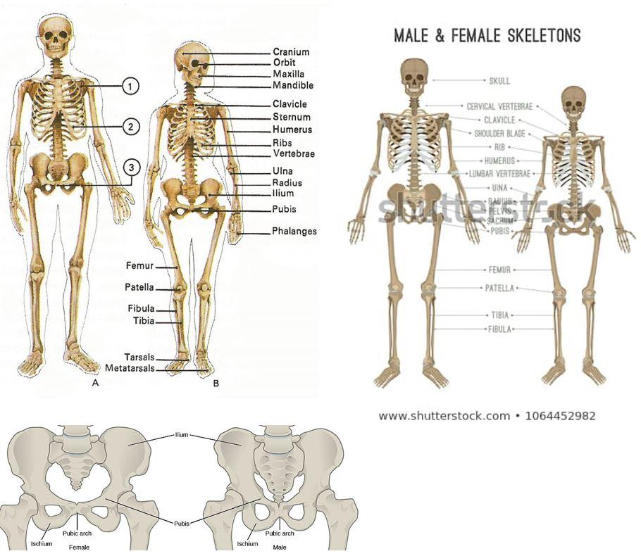diagram of male skeleton masters pt 49 female vs male skeleton     deathlake  masters pt 49 female vs male skeleton